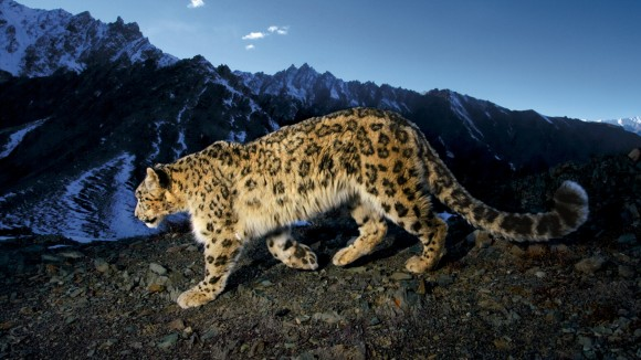 Saving snow leopards in a war zone