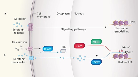 Modification of histone proteins by serotonin in the nucleus