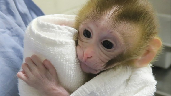 Baby monkey is first primate created using sperm from tissue transplanted into dad