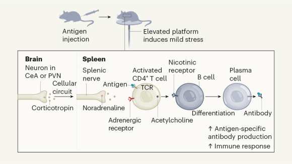 Brain–spleen connection aids antibody production