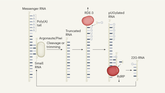 Genes silenced down the generations, thanks to tails on messenger RNA