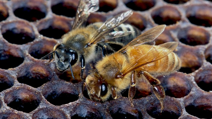 Killer' bee genome reveals key adaptations : Research Highlights