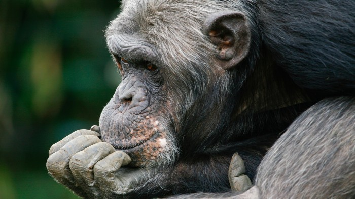 Alzheimer's indicators seen in chimps : Research Highlights
