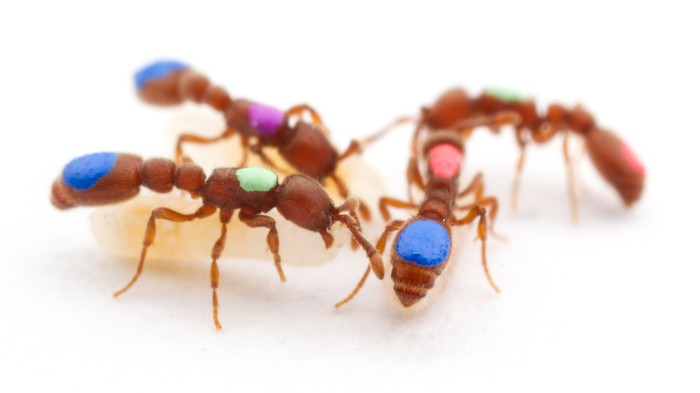 Many different animals have been modified with CRISPR; ants have now joined their ranks.