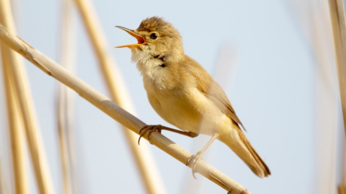 The Eurasian reed warbler migrates over vast distances, from Europe to sub-Saharan Africa.
