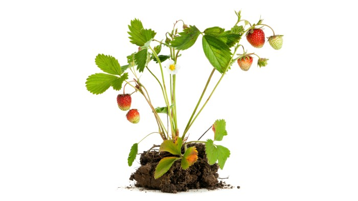 How Strawberries Come To Fruition Research Highlights