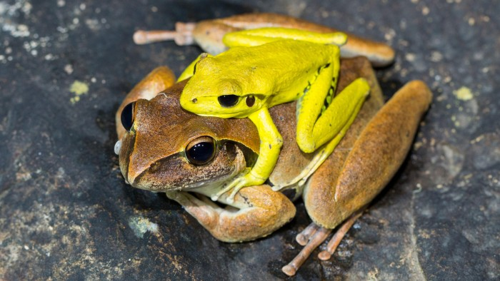 Shifting colour is common in frogs, such as these Stony Creek frogs.