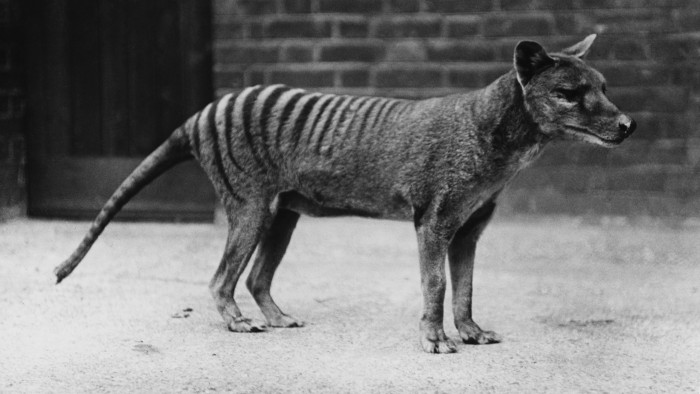 Despite claims of recent sightings in Tasmania, most researchers think the thylacine died out decades ago.