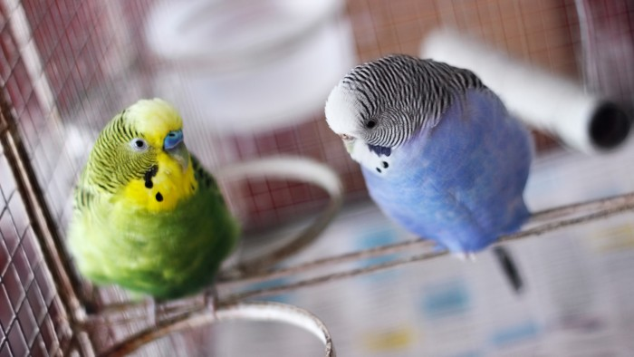 Pinpointing pigment genes for parrot pets : Research Highlights
