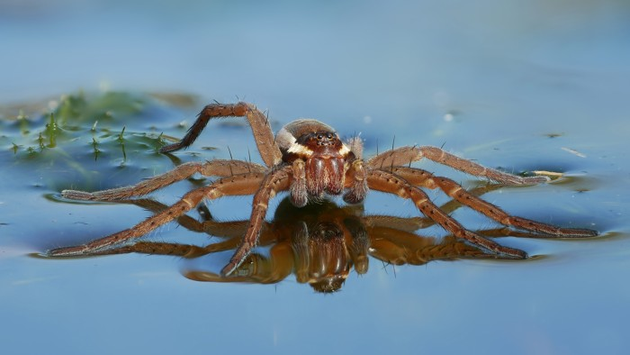 Designated best sailors, fishing spiders take advantage of breezes to scud along the surface of ponds.