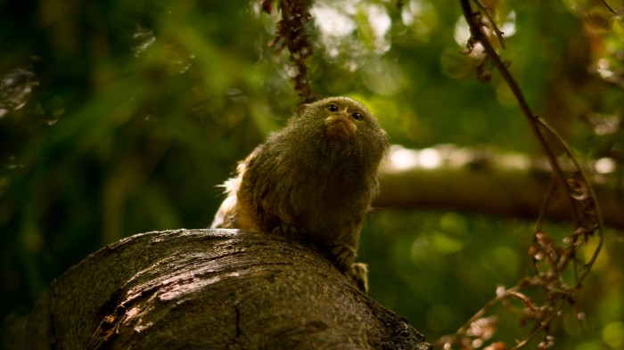 The ancestors of many modern primates, like this pygmy marmoset, were among the first mammals to abandon a nocturnal schedule.