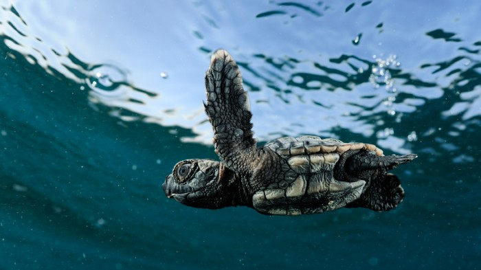 Loggerhead turtle hatchling swimming.