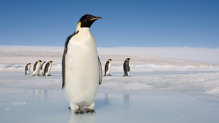 Even the 1.2-metre-tall Emperor penguin is smaller than a newly discovered penguin species that lived some 60 million years ago.