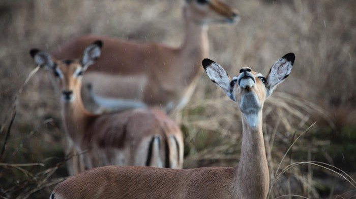 Female impala in Mozambique's Gorongosa National Park, where civil war took a heavy toll on wildlife in the 1980s and 1990s.