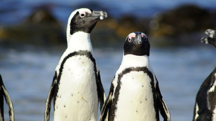 The colony of endangered African penguins on South Africa's Robben Island shrank by almost three-quarters between 2008 and 2015.