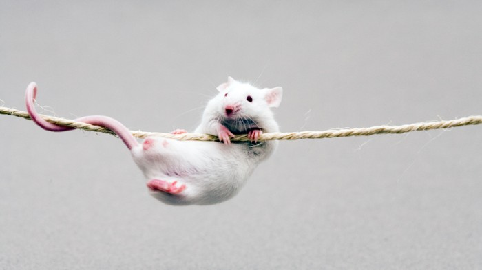 A tightrope stroll was too much for the neurons that steady this mouse.