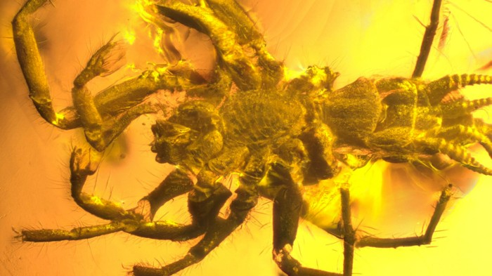 This 100-million-year-old arachnid in amber had silk-spinning organs but also a long tail.