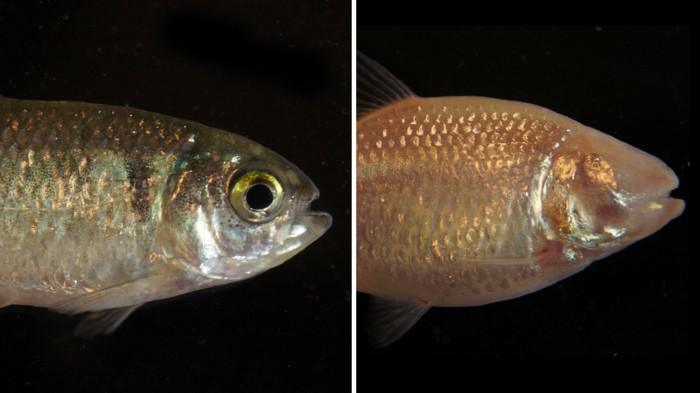 Comparison of Astyanax mexicanus surface fish and Pachón cavefish