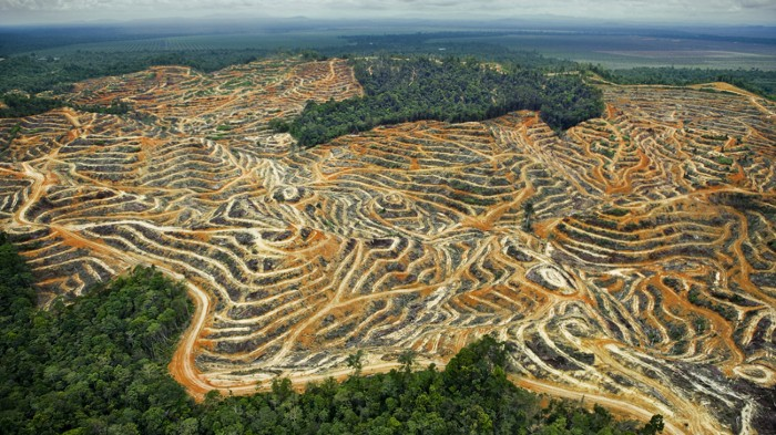 Oil palm plantations in the rainforest