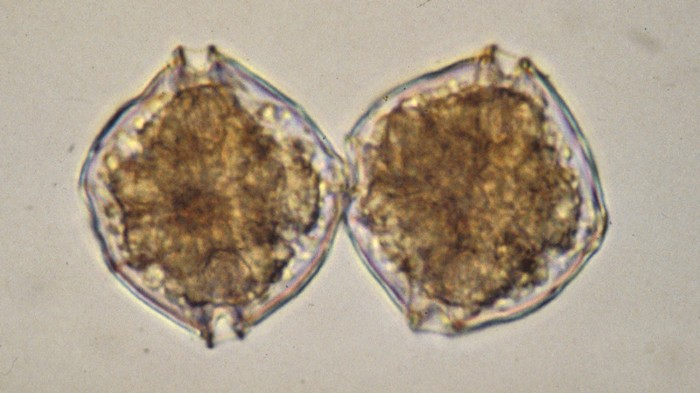 Two cells of the dinoflagellate Alexandrium catenella