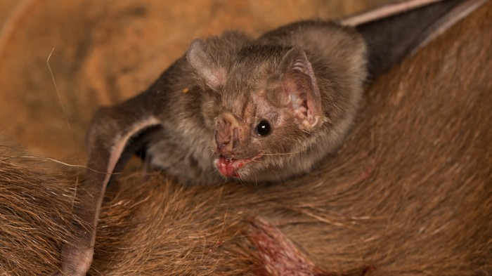 A vampire bat dines on livestock blood, which is high in protein and low in carbohydrates.