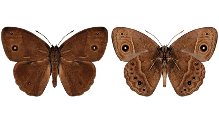 Dorsal and ventral views of male Bicyclus anynana