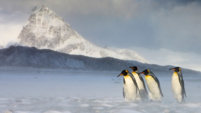 Climate change threatens King penguins, say scientists