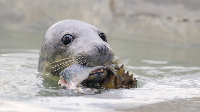 Grey seal eating mackerel