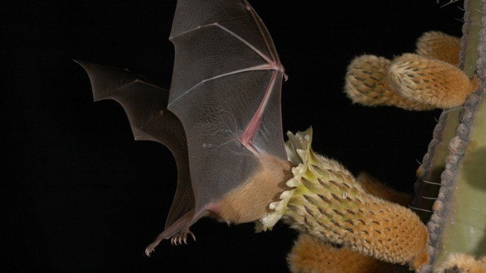 Lesser long-nosed bat visiting a columnar cactus flower