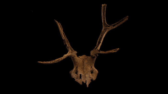 An antler headdress or mask from Star Carr