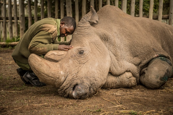 Northern White Rhino and wildlife ranger