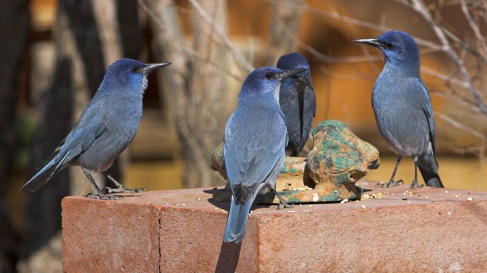 Four Pinyon jay visiting a garden feeder
