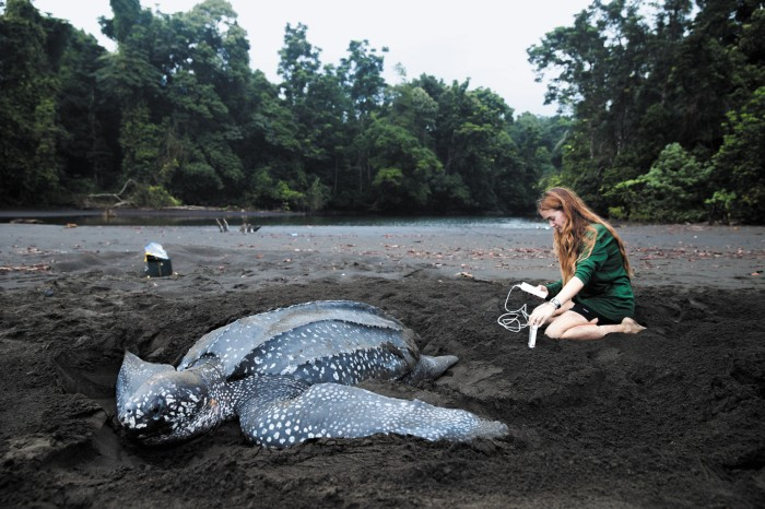 Scientist taking measurements on a beach next to a leatherback sea turtle
