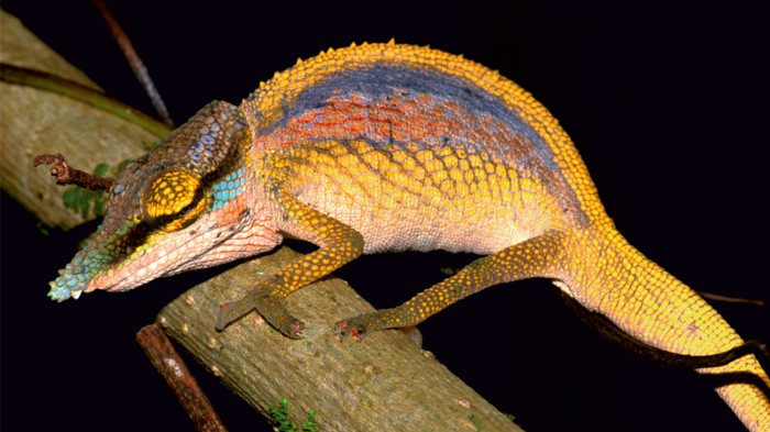 Chameleon showing rainbow display colours