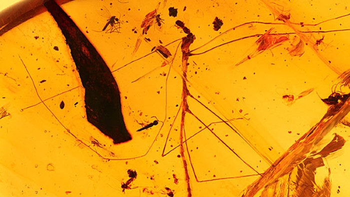 A stick insect preserved in amber