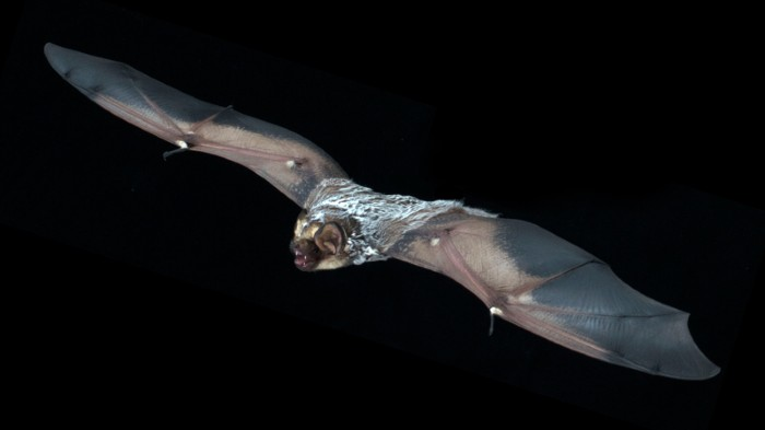 A hoary bat (Lasiurus cinereus) in flight