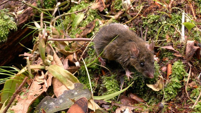 Mt Halcon forest mouse
