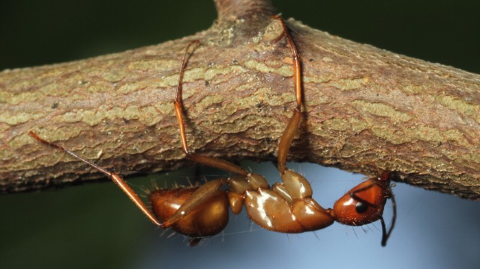 Carpenter ant infected with parasite clings to a twig