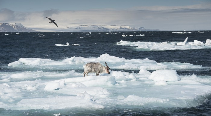 Svalbard reindeer (Rangifer tarandus) stranded on drifting ice while a petrel flies over, Norway, 2015