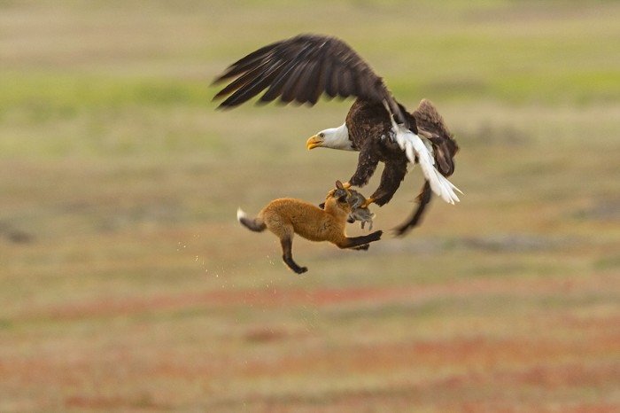 A bald eagle and a red fox tussle in mid-air over a European rabbit in San Juan Island National Park in Washington state.