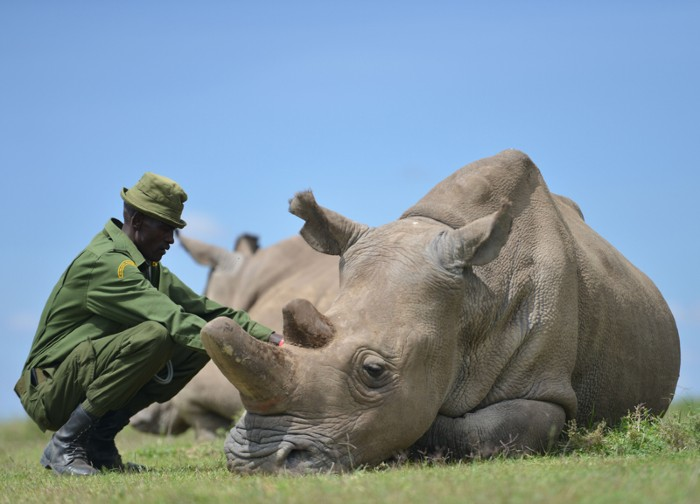 Najin is one of only two remaining female northern white rhinoceros at the Ol Pejeta conservancy. Kenya.