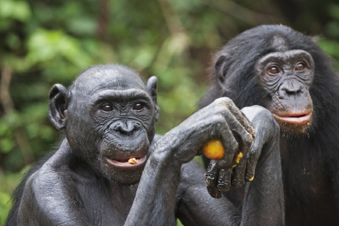 Bonobos, which are endemic to swampy rain forests south of the Zaire River.
