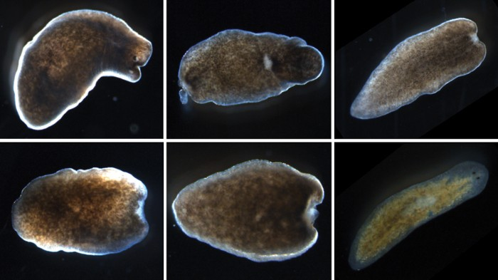 one special cell can revive a flatworm on the brink of death