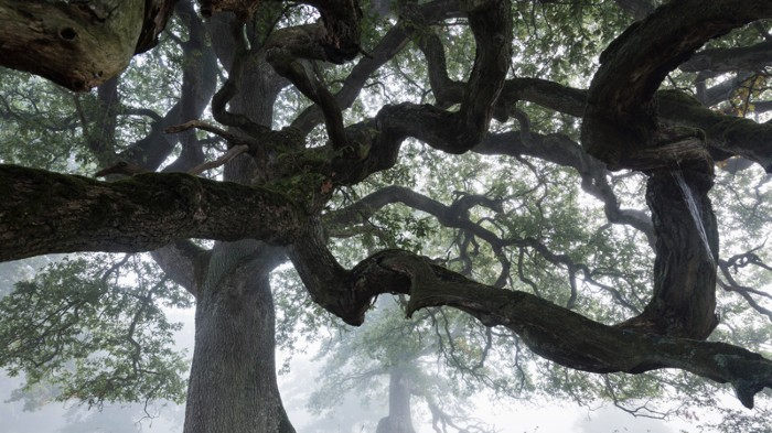 Low angle view of English Oak (Quercus robur) in fog