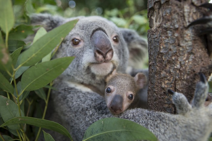 Koala mother and five month old joey