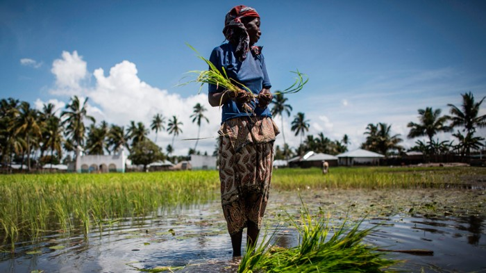 A Mozambican woman works in a rice paddy