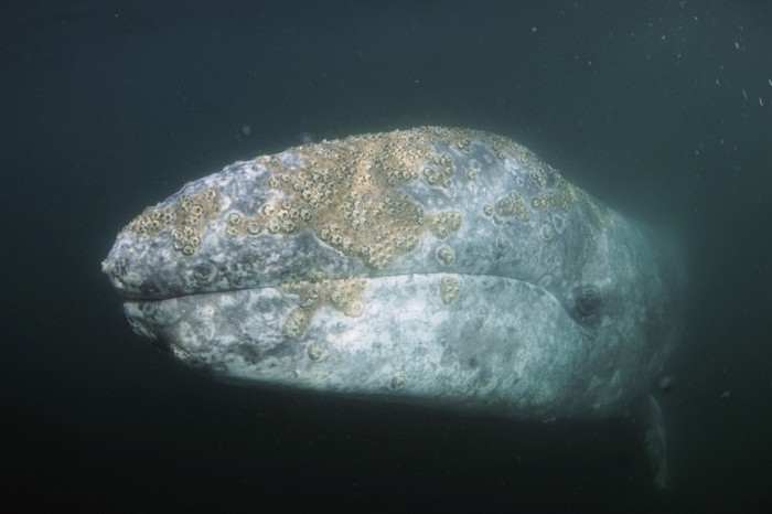 Gray Whale (Eschrichtius robustus) with barnacles, San Ignacio Lagoon, Baja California, Mexico