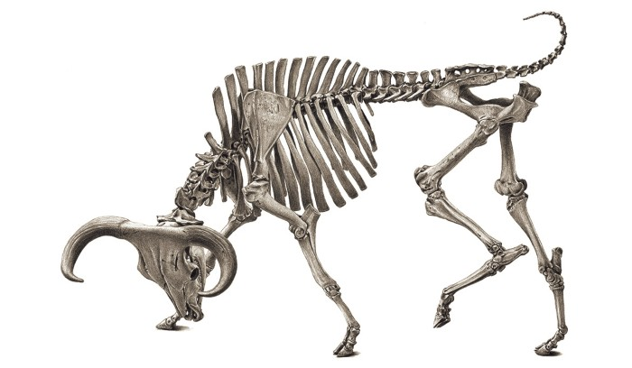 A black and white sketched illustration of an aurochs skeleton in a charging pose.