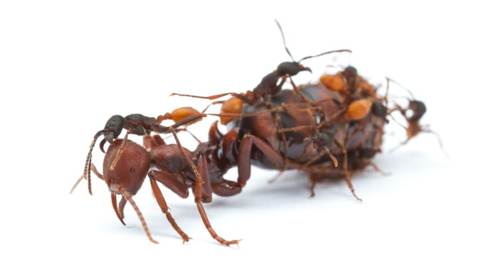 Workers of the army ant Eciton burchellii tend to their much larger queen