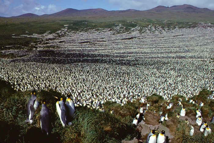 King penguin colony at IIle aux Cochons at its maximum population in 1982